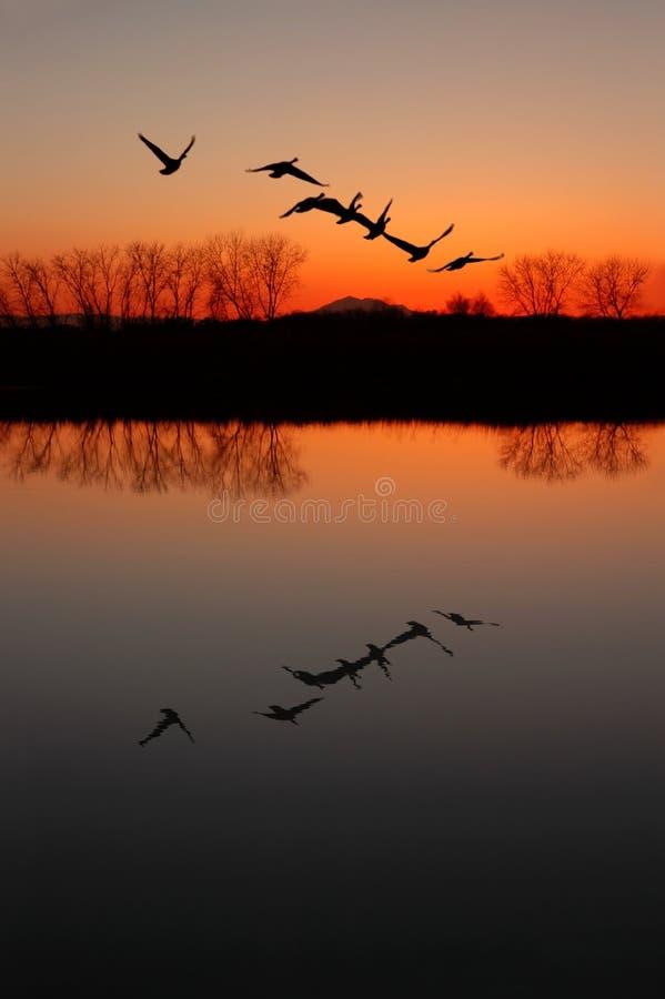 канадский заход солнца гусынь стоковая фотография