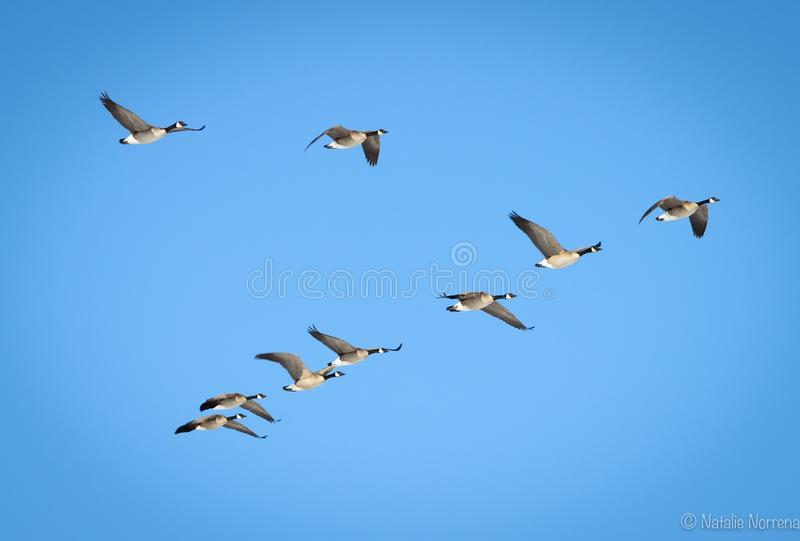 канадские гусыни летания стоковое фото rf