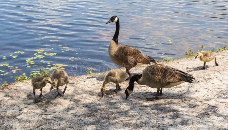 канадские гусята гусынь стоковые фотографии rf