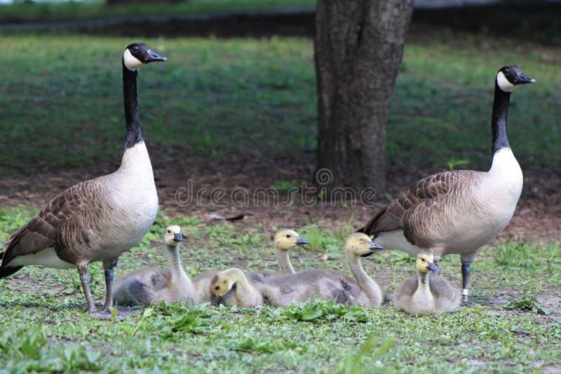 Канадские глупец гусыни и семья Gosling, максимумы canadensis чёрной казарки, в парке стоковое фото