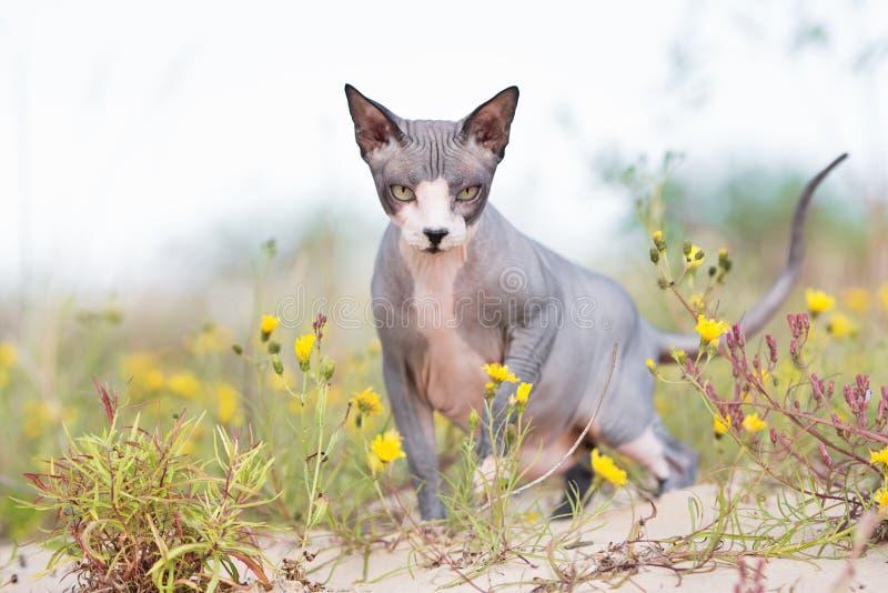 Канадский кот sphynx outdoors стоковые изображения