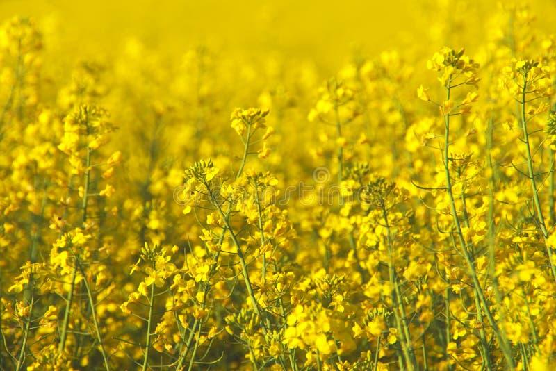 Канола поле весной, Словения стоковая фотография rf