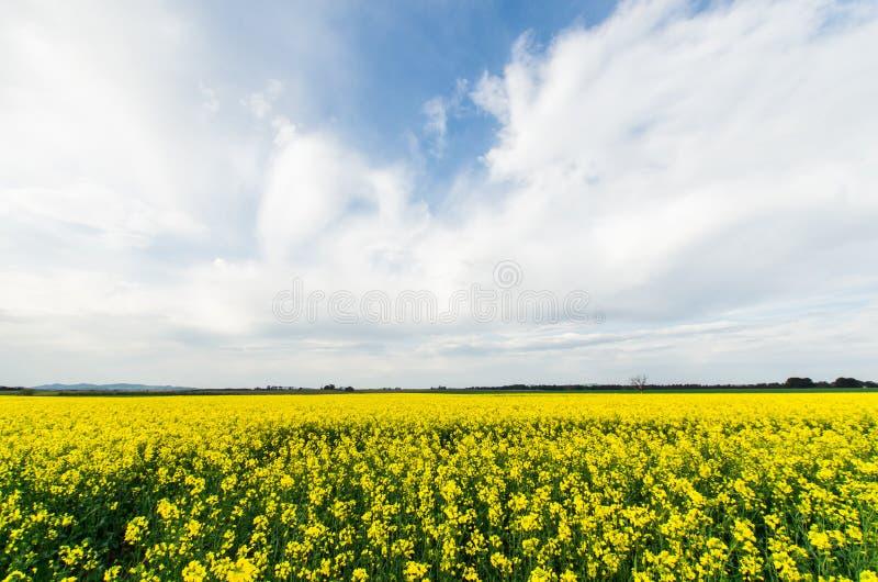 Канола поле около Ballarat стоковая фотография