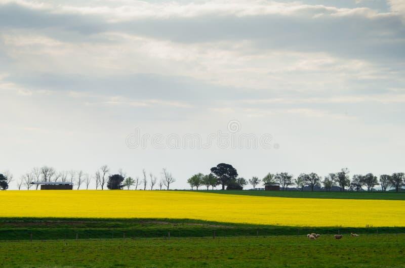 Канола поле около Ballarat стоковое фото rf