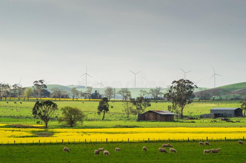 Канола поле около Ballarat стоковые фотографии rf