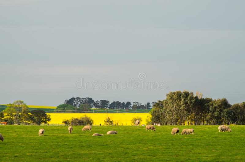 Канола поле около Ballarat стоковое изображение rf
