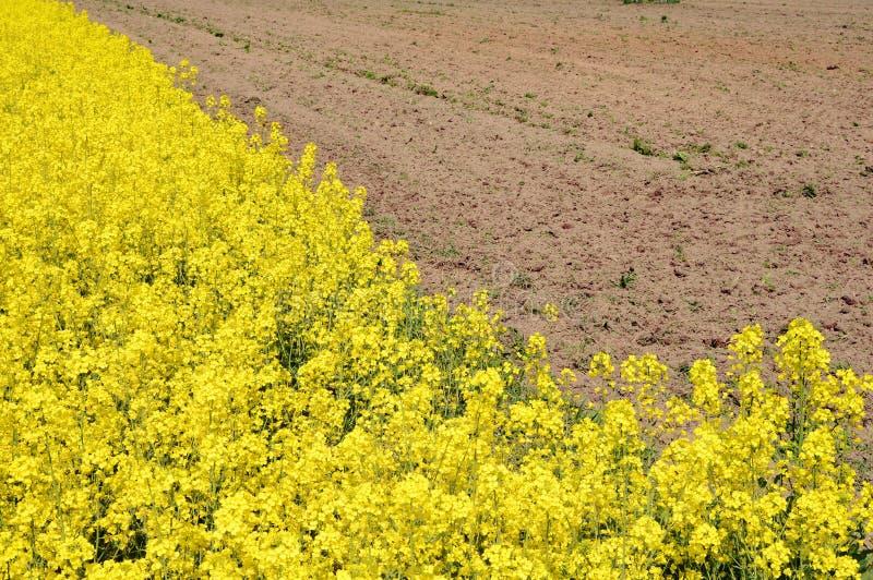 Download Канола поле, поле рапса стоковое фото. изображение насчитывающей над - 40582366