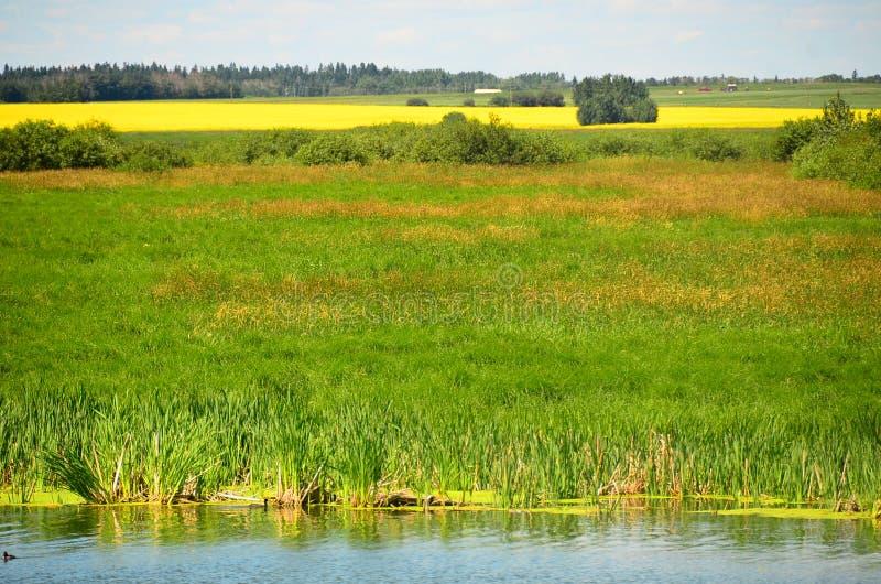 Канола поля зерна Канада стоковое фото rf