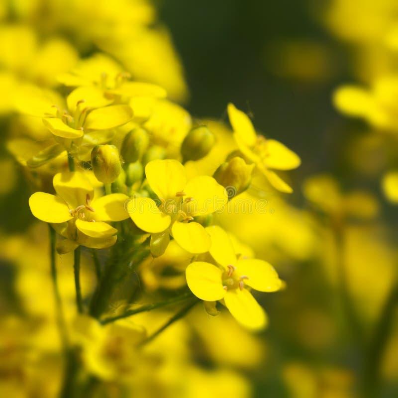 Канола, цветки рапса закрывают вверх стоковое изображение rf