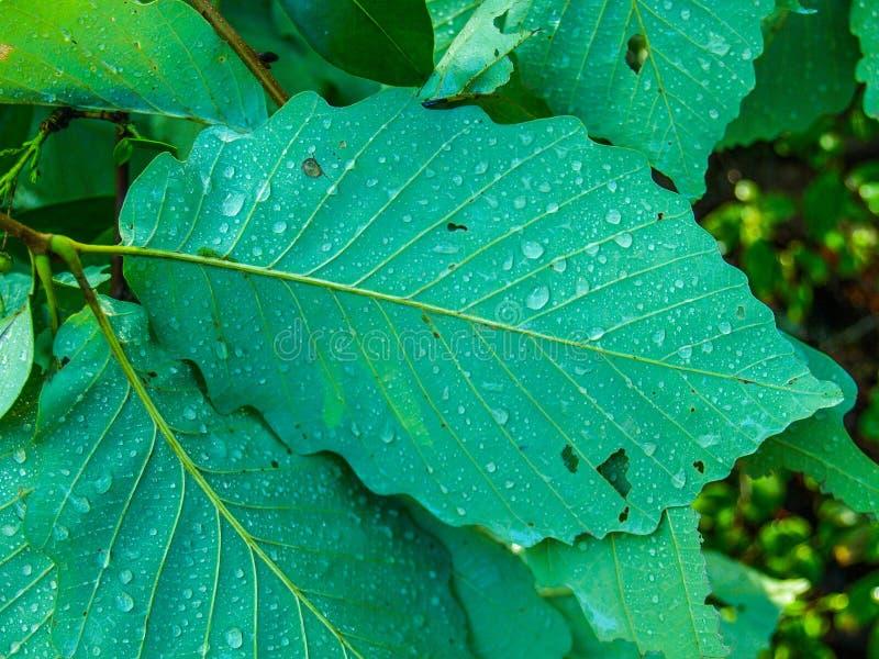 Капельки воды льнуть к задней части листьев стоковое изображение