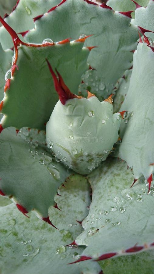Капельки воды на африканском succulent2 стоковая фотография