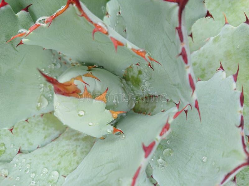 Капельки воды на африканском succulent4 стоковые фотографии rf