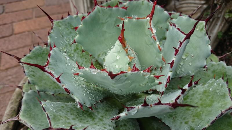 Капельки воды на африканском succulent5 стоковые изображения