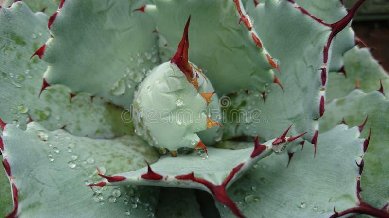 Капельки воды на африканском succulent6 стоковое фото