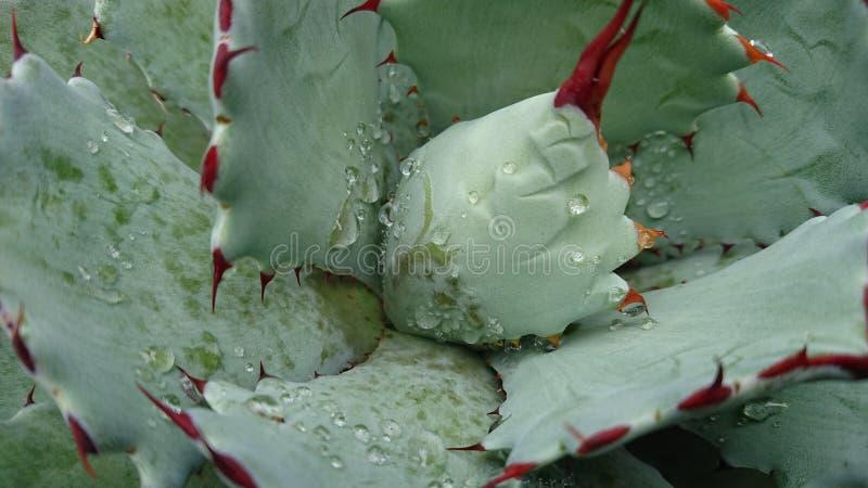 Капельки воды на африканском succulent1 стоковое фото rf