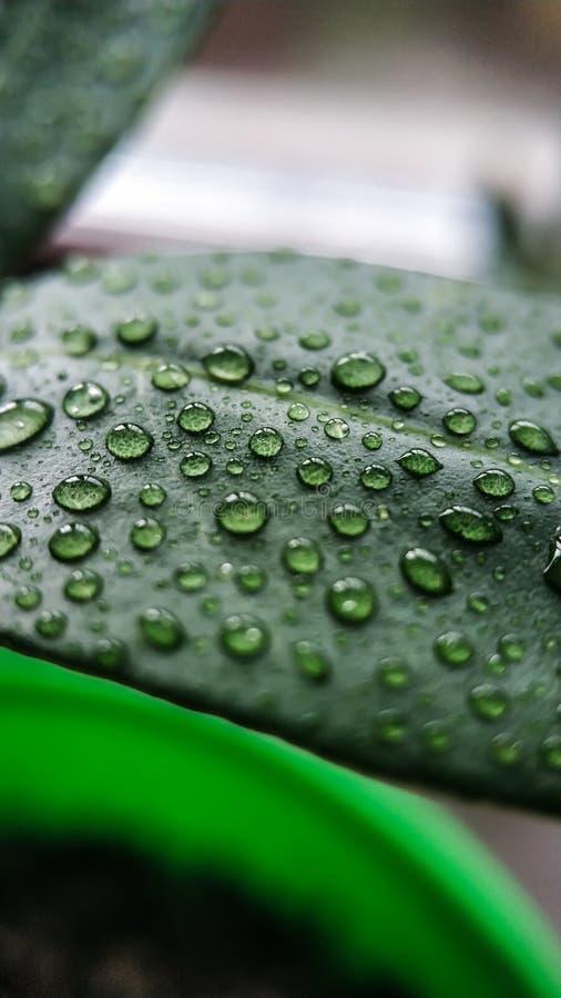 Капельки воды на зеленых листьях завода lychee Для крупного плана предпосылки и текстуры стоковые изображения
