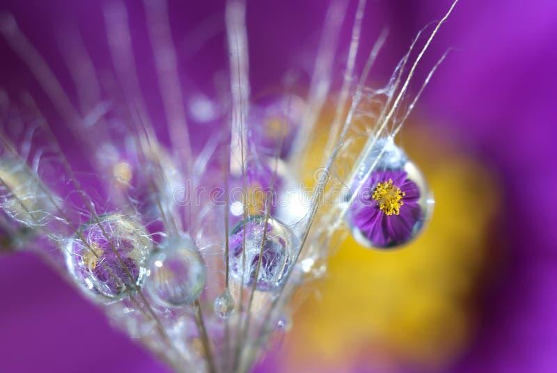 Капельки воды на семени одуванчика которые отражают пурпурный цветок стоковое изображение rf