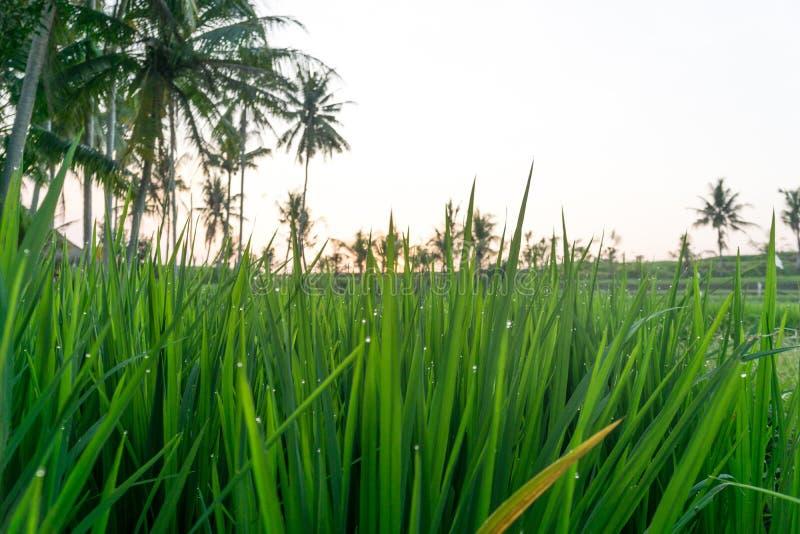 Капельки воды в рисе Field в Бали, Индонезии стоковое фото rf