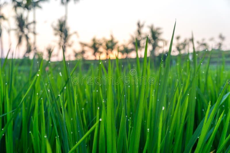 Капельки воды на поле риса в Бали, Индонезии стоковые фотографии rf