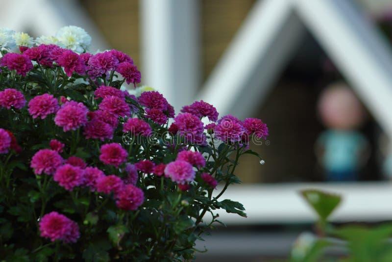Капля росы лист хризантемы стоковая фотография rf