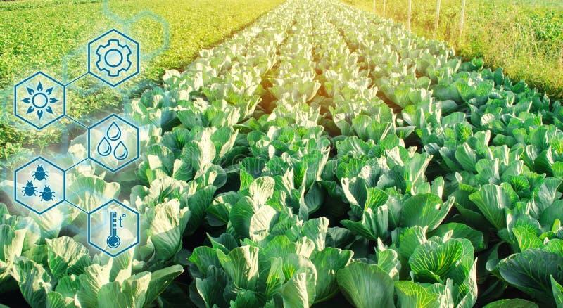 Капуста в поле Высокие технологии и нововведения в агро-индустрии Качество исследования почвы и урожая Научная работа и иллюстрация вектора