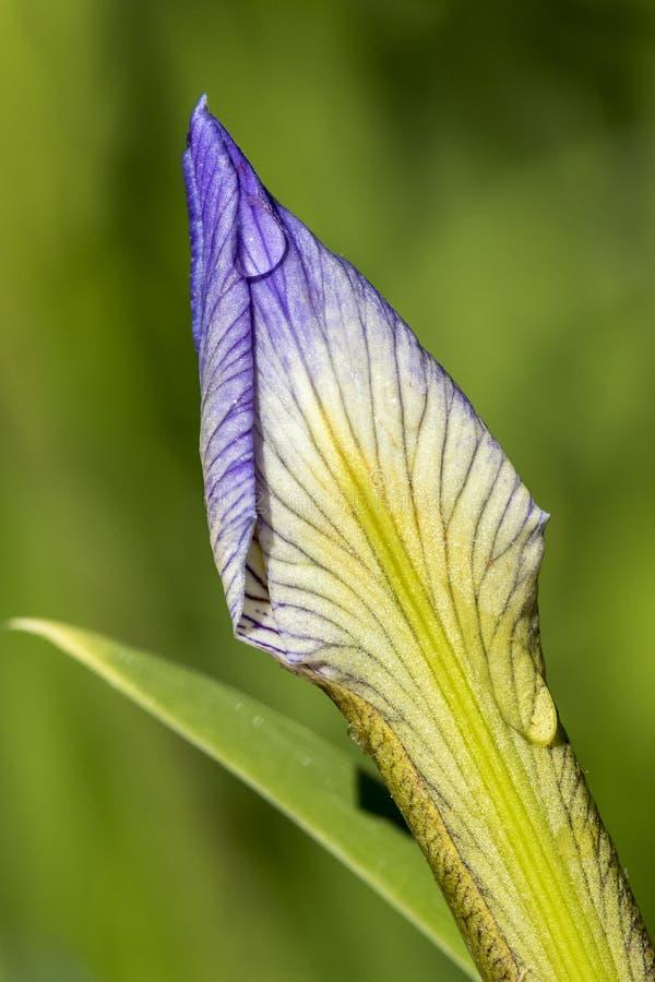 Капли росы на бутоне цветка радужки Blueflag стоковое фото rf