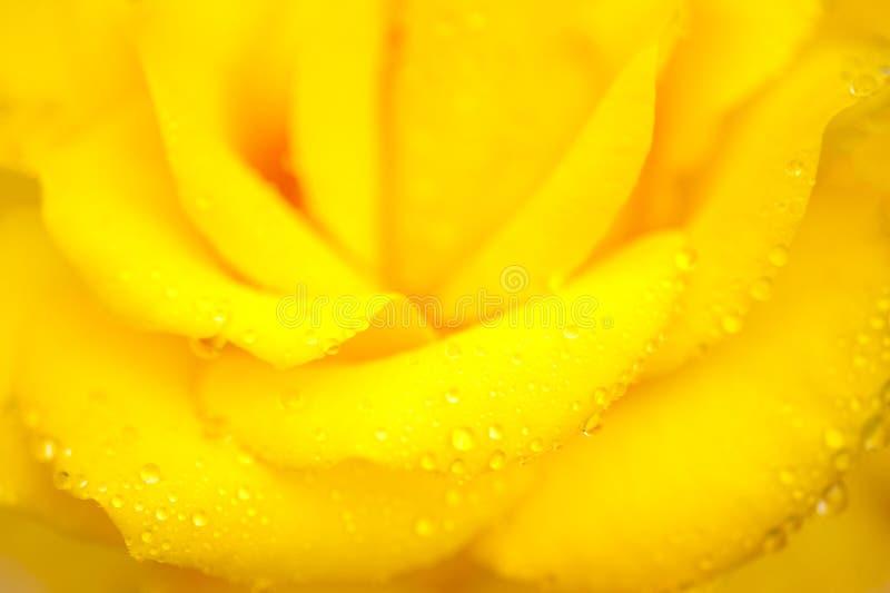 Капля росы jacq rosa желтого фарфора розовая chinensis стоковая фотография rf