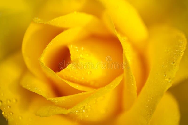 Капля росы jacq rosa желтого фарфора розовая chinensis стоковое фото rf