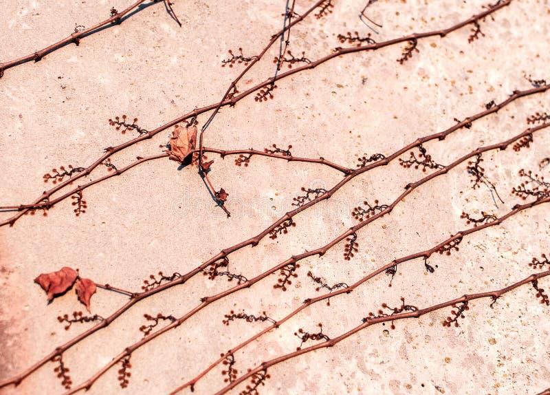 Карабкаясь Parthenocissus завода - creeper Вирджинии вектор детального чертежа предпосылки флористический стоковое фото rf
