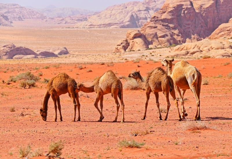 Караван верблюдов бедуина в пустыне рома вадей, Джордане стоковое изображение