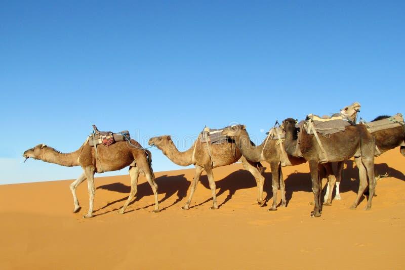 Караван верблюда в пустыне стоковые изображения