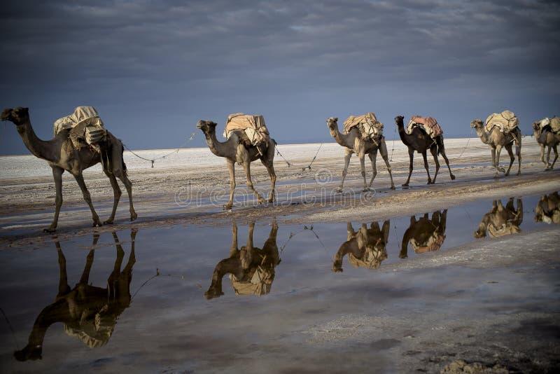 Караван верблюда стоковое изображение rf