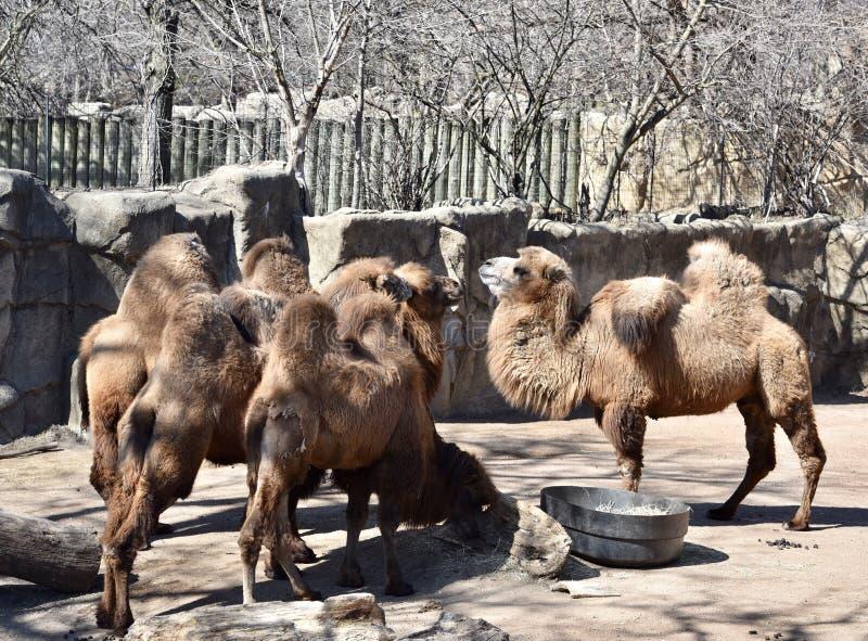 Караван Bactrian верблюдов стоковые фотографии rf