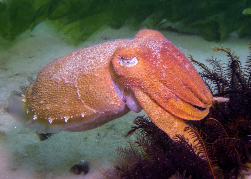 Каракатицы стоковые фотографии rf