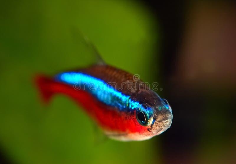 кардинальные рыбы стоковая фотография rf