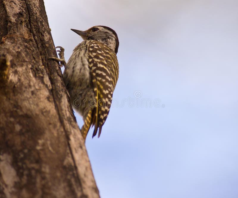 кардинальный взбираясь женский woodpecker журнала стоковая фотография