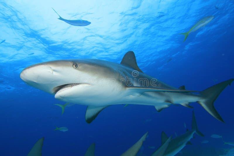 карибская акула рифа стоковое фото