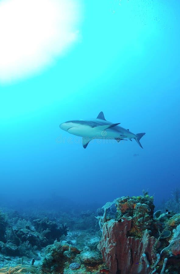 Карибская акула рифа стоковые изображения