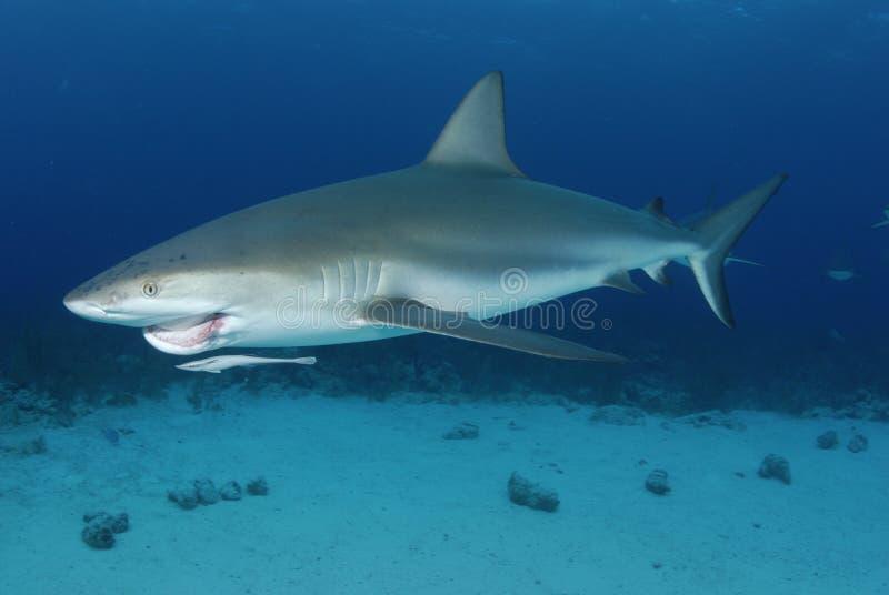карибская акула рифа стоковое изображение rf