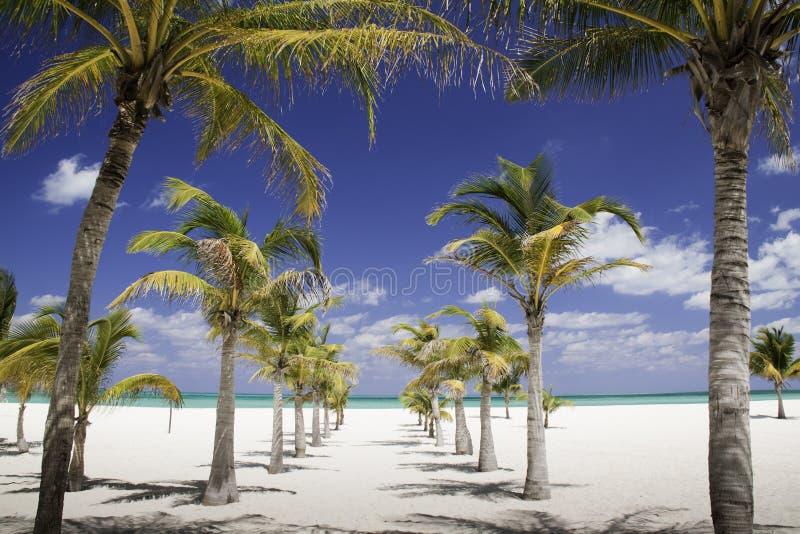 карибская ведущая тень моря рядка ладони к валам стоковая фотография rf