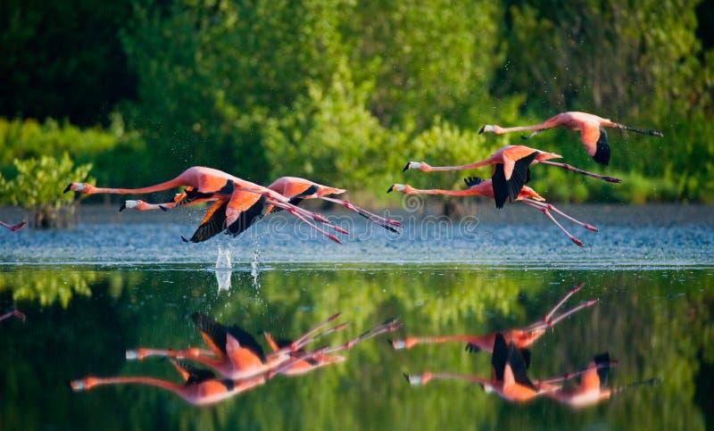 Карибские фламинго летая над водой с отражением стоковые изображения rf