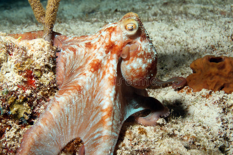 Карибский восьминог рифа стоковое фото rf