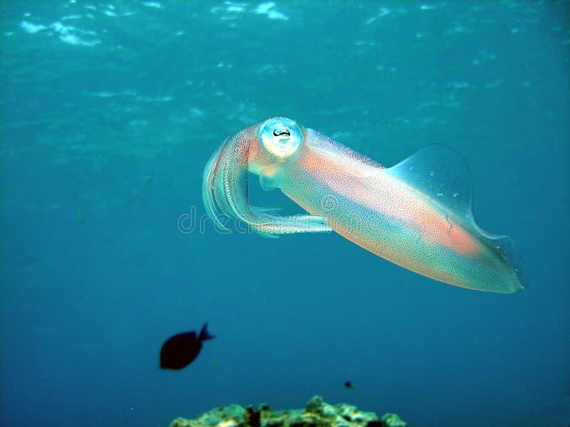 карибский кальмар рифа стоковая фотография rf