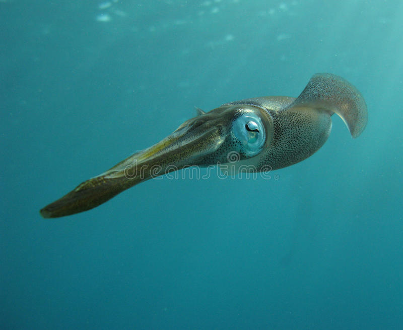 Карибский кальмар рифа стоковые фото