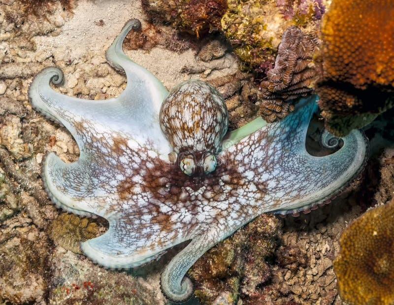 Карибский осьминог рифа, briareus осьминога стоковые изображения