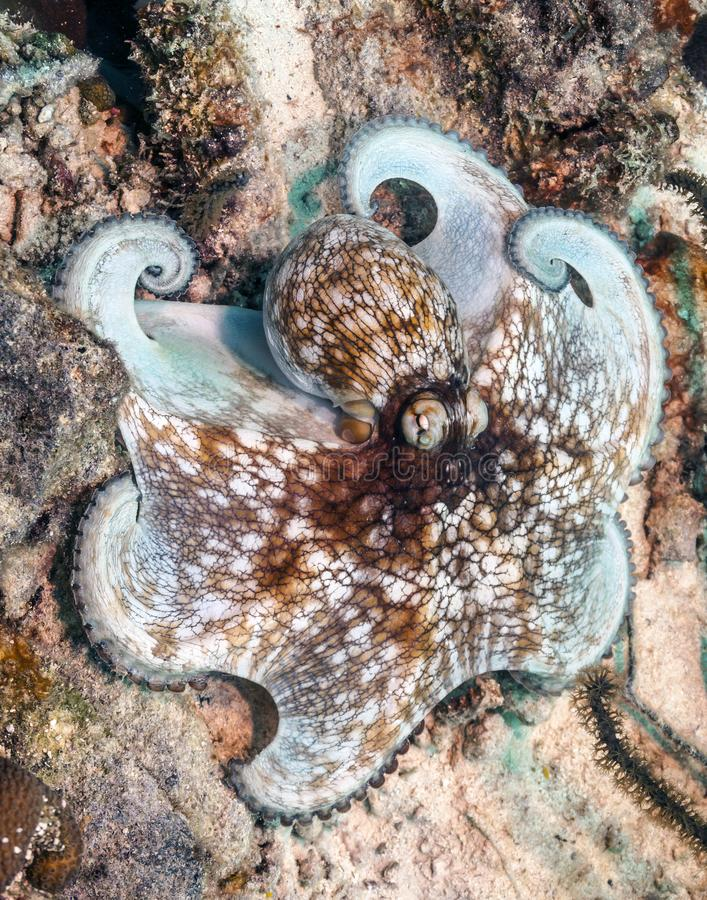 Карибский осьминог рифа, briareus осьминога стоковые фотографии rf