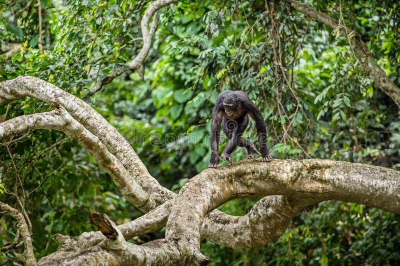 Карликовый шимпанзе на ветви дерева в естественной среде обитания стоковое фото rf