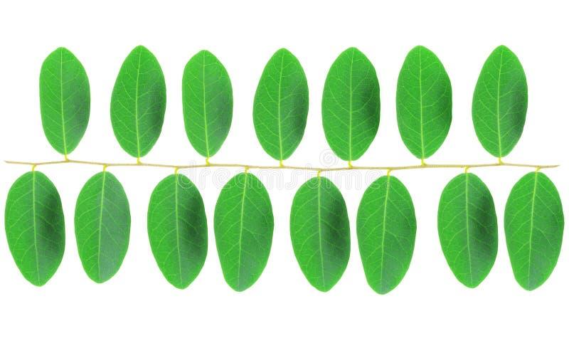 Картина зеленых лист изолированная на белой предпосылке стоковая фотография