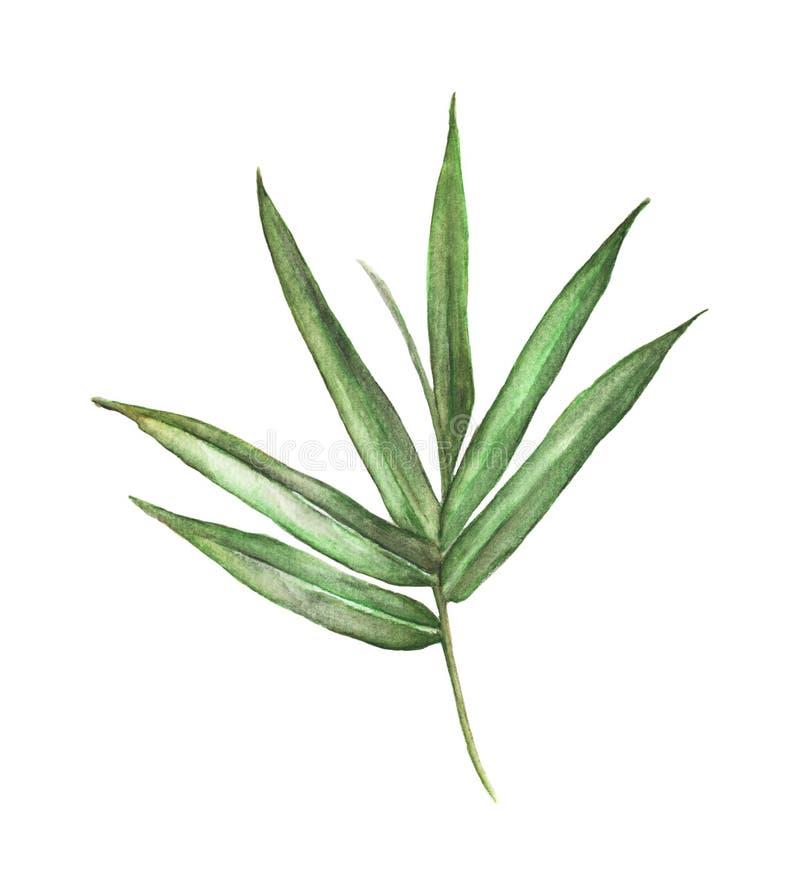 Картина иллюстрации акварели листьев бамбука изолированных на белой предпосылке бесплатная иллюстрация