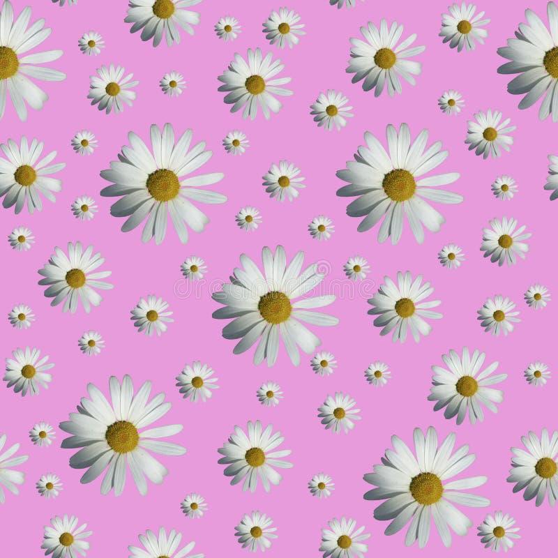 Картина маргаритки r r Цветочный узор белых цветков стоцвета на розовой предпосылке стоковая фотография